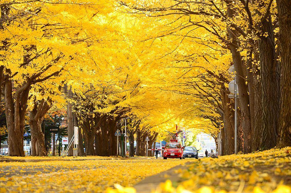 Meiji-jingu-Gaien-park-ginkgo-trees-leaves-autumn-tokyo-23